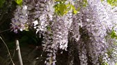 sunlights : Closeup of pink flower clusters of an Wisteria in full bloom in spring. Light breeze, sunny day, dynamic scene, 4k video