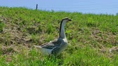 den : Goose Walks and Looks the Environment in a Green Nature, 4 K Video Clip