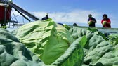den : Seasonal Work in the Field - Harvesting Cabbage, 4 K Video Clip