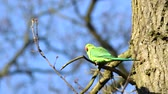 tailândia : Rose-ringed Parakeet, Psittacula krameri, perched on a tree branch, nature, copy space Stock Footage