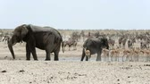 struś : Waterhole in Etosha with many animals, Zebras, elephants, ostrich, springbok, oryx. Etosha National Park, Namibia Wideo