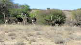 struś : Ostrich, Struthio camelus in Kgalagadi, South Africa, true wildlife photography Wideo