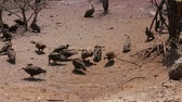 гриф : Flock of White backed vulture on carrion feast in which Zimbabwe national park