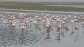 namib desert : Huge colony of Rosy Flamingo in Walvis Bay Namibia, overcast weather, wildlife Stock Footage