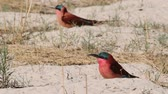 caprivi : Large nesting colony of Northern Carmine Bee-eater (Merops nubicoides) on the banks of the Zambezi River in Caprivi Namibia, Africa Safari wildlife