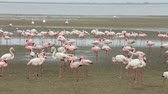 namib desert : Huge colony of Rosy Flamingo birds in Walvis Bay Namibia, Africa safari wildlife and wilderness