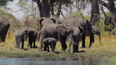 caprivi : herd of African elephant with babies, Loxodonta drinking on on small lagoon in landscape of the Caprivi strip game park, Nambwa Namibia, Africa safari wildlife and wilderness