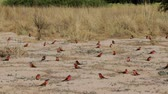 caprivi : large nesting colony of Northern Carmine Bee-eater (Merops nubicoides) on the banks of the Zambezi River in Caprivi Namibia, Africa Stock Footage