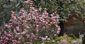 kırılgan : beautiful spring pink Magnolia tree moving by wind in the springtime garden
