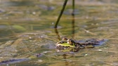 жаба : green marsh frog on spring pond, Pelophylax ridibundus is native to Europe, Czech, European wildlife