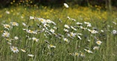 естественно : white daisy, marguerite flowers in meadow
