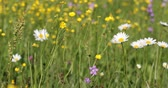 dof : white daisy, marguerite flowers in meadow