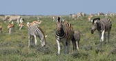Намибия : Playful Burchells zebra in the African bush, Etosha national park, Namibia wildlife wildlife safari
