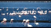 protege : beautiful bird Rosy Flamingo in Walvis Bay reservation, Namibia, Safari wildlife