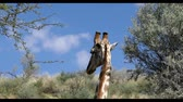 cute Giraffes in Kalahari, South Africa