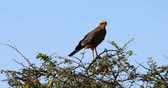 Black kite, falcon hawk, bird of prey on tree in Etosha, Namibia, Africa safari wildlife Стоковые видеозаписи