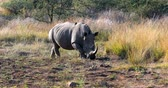 White rhinoceros on waterhole in Pilanesberg National Park & ??Game Reserve, South Africa safari wildlife