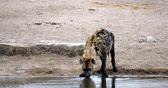 Spotted hyena drinking from waterhole, Etosha National Park, Namibia