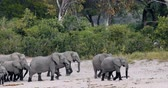 Намибия : herd of African elephant with babies, Loxodonta going out of waterhole in Bwabwata, Caprivi strip game park, Namibia, Africa safari wildlife and wilderness Стоковые видеозаписи