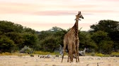 antilop : Two cute Giraffes in Love, Courtship, Love-making in Etosha National Park Waterhole, Namibia Safari Wildlife, Africa