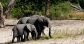 herd of African elephant with babies, Loxodonta going out of waterhole in Bwabwata, Caprivi strip game park, Namibia, Africa safari wildlife and wilderness Стоковые видеозаписи