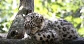 пантеры : 4 months old playful baby kitten of cat Snow Leopard, Irbis, Uncia Unca Стоковые видеозаписи