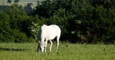 paste : white horse grazing in a spring meadow