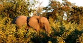 Majestic wild African Elephant in Chobe Game reserve with sunset colors. Botswana, Africa wildlife safari.