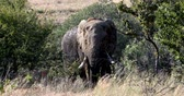 bulle : Majestic wild African Elephant in Pilanesberg Game reserve. South Africa wildlife safari.