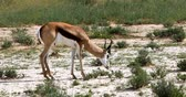 sawanna : Springbok grazing in Kalahari, green desert after rain season. Kgalagadi Transfrontier Park, South African wildlife safari