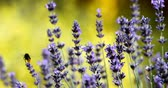 summer lavender flower in garden, close up with shallow focus. Summer background Stock Footage