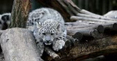 пантеры : playful baby kitten of cat Snow Leopard, Irbis, Uncia Unca