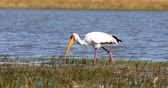 cegonha : big bird Yellow-billed stork (Mycteria ibis) in a natural habitat catching small fish in beak, Moremi game reserve Botswana, Africa wildlife Vídeos