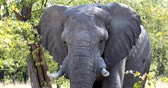 sawanna : Majestic African Elephant in natural habitat in Moremi game reserve, Botswana safari wildlife Wideo