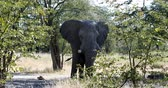 Majestic African Elephant in natural habitat in Moremi game reserve, Botswana safari wildlife Stock Footage