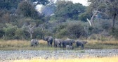 tusks : herd of African elephant with babies, Loxodonta going out of waterhole in Bwabwata, Caprivi strip game park, Namibia, Africa safari wildlife and wilderness Stock Footage