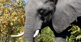 pachyderm : Majestic African Elephant in Chobe National Park, Botswana Wildlife Safari