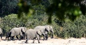caprivi : herd of African elephant with babies, Loxodonta going to waterhole in Bwabwata, Caprivi strip game park, Namibia, Africa safari wildlife and wilderness Stock Footage