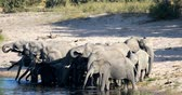 game reserve : herd of African elephant with babies, Loxodonta going to waterhole in Bwabwata, Caprivi strip game park, Namibia, Africa safari wildlife and wilderness Stock Footage