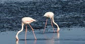 ohrožený : beautiful Rosy Flamingo in Walvis Bay reservation, Namibia, Africa safari wildlife Dostupné videozáznamy