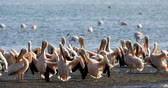 Намибия : Pink-backed pelican and rosy flamingo colonies in Walvis bay, Namibia safari wildlife Стоковые видеозаписи