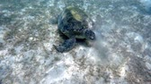 chelonia : Adult green sea turtle (Chelonia mydas) grazing in red sea, Marsa Alam, Egypt Stock Footage