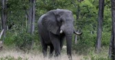 pachyderm : Majestic African Elephant in Moremi game reserve, Botswana safari wildlife
