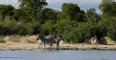 senhor : Zebras in african bush on waterhole. Moremi game reserve, Botswana, Africa safari wildlife