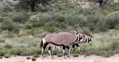 antilop : Gemsbok, Oryx gazella in Kalahari, green desert with tall grass after rain season. Kgalagadi Transfrontier Park, South African wildlife safari Stok Video