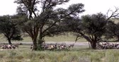 antilop : herd of Gemsbok resting uder tree, Oryx gazella in Kalahari, green desert with tall grass after rain season. Kgalagadi Transfrontier Park, South African wildlife safari
