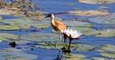 Крюгер : middle-sized bird African jacana, Actophilornis africanus, walks among water hyacinth leaves and waterlliy flowers. Looking iside flower for food. Bwabwata, Namibia, Africa safari wilderness Стоковые видеозаписи
