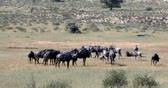 ruminante : herd of Wild Blue Wildebeest Gnu in Kalahari, green desert after rain season. Kgalagadi Transfrontier Park, South African wildlife safari