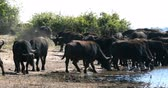 katil : herd of African Cape Buffalo drinking from Chobe River, Botswana Wildlife Safari