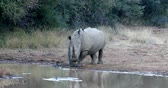 Крюгер : Endangered species White rhinoceros on waterhole in Pilanesberg National Park & Game Reserve, South Africa Safari Wildlife
